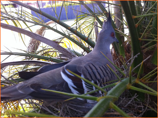 pigeon-nesting-in-date-palm